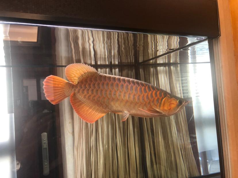 来个懂它的伯乐 北京龙鱼论坛 北京龙鱼第3张