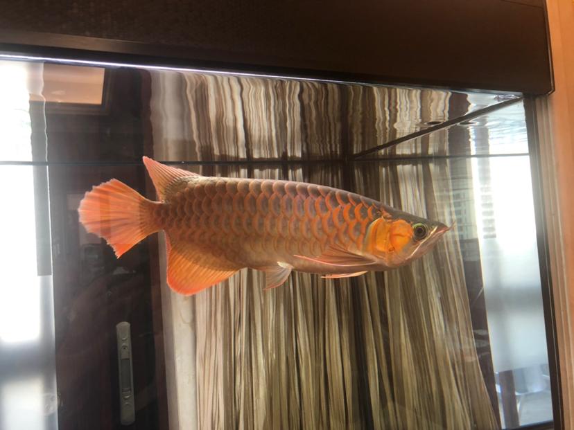 来个懂它的伯乐 北京龙鱼论坛 北京龙鱼第4张