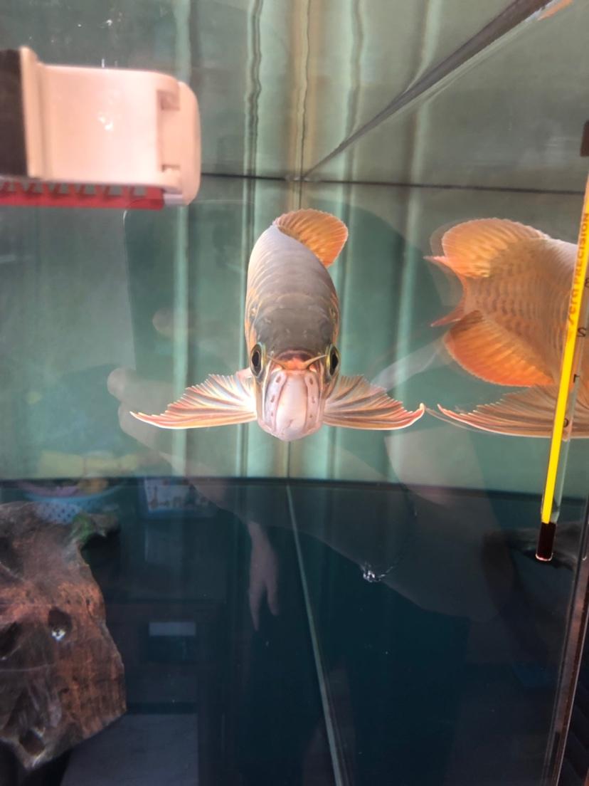 来个懂它的伯乐 北京龙鱼论坛 北京龙鱼第6张