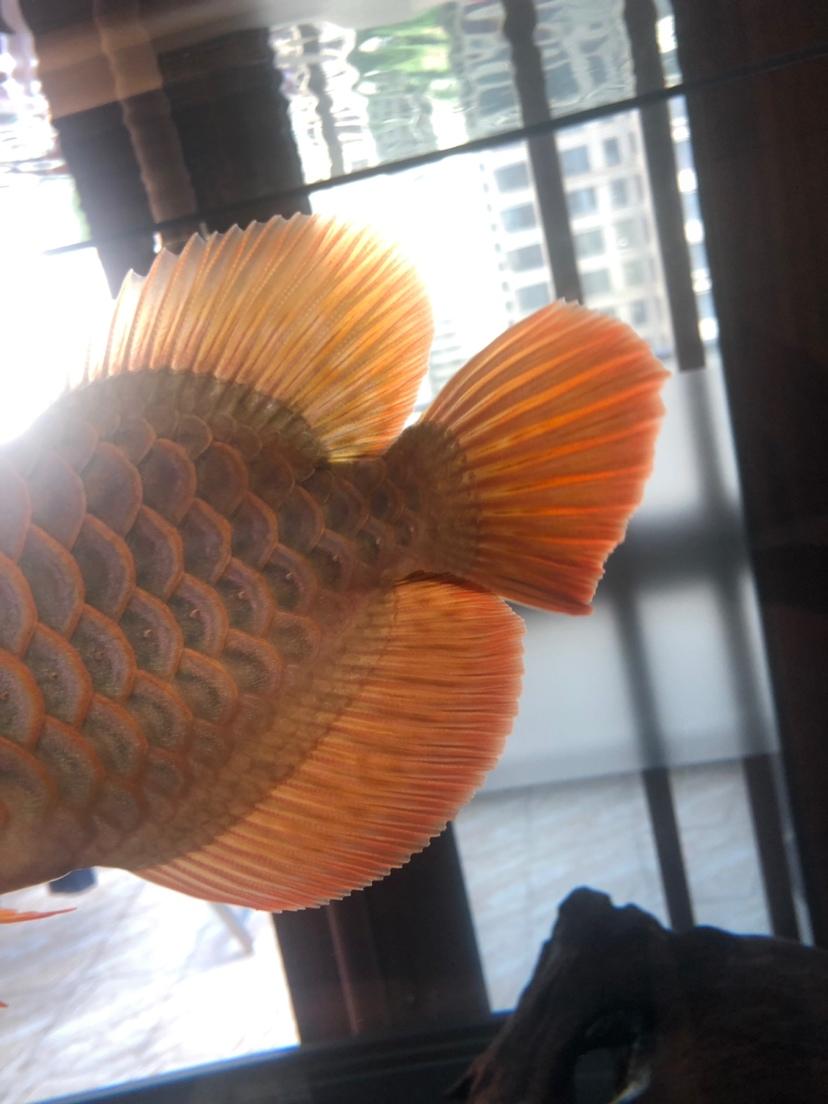 来个懂它的伯乐 北京龙鱼论坛 北京龙鱼第8张
