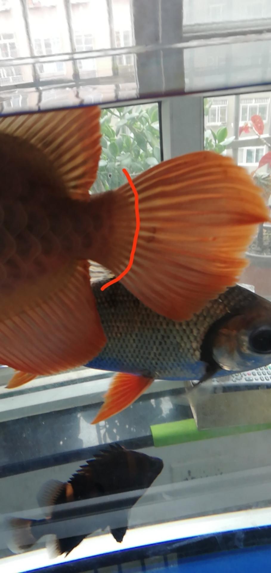 龙鱼北京魟鱼批发尾巴两根断了 北京龙鱼论坛 北京龙鱼第2张