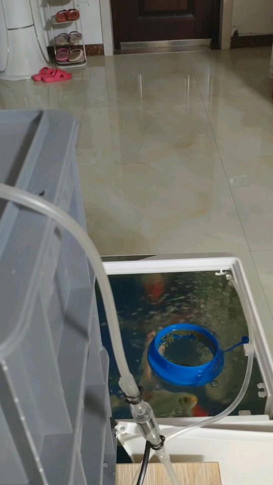 每次都把北京水草缸养七彩神仙鱼碗里的食物抖到外面吃 北京观赏鱼 北京龙鱼第1张