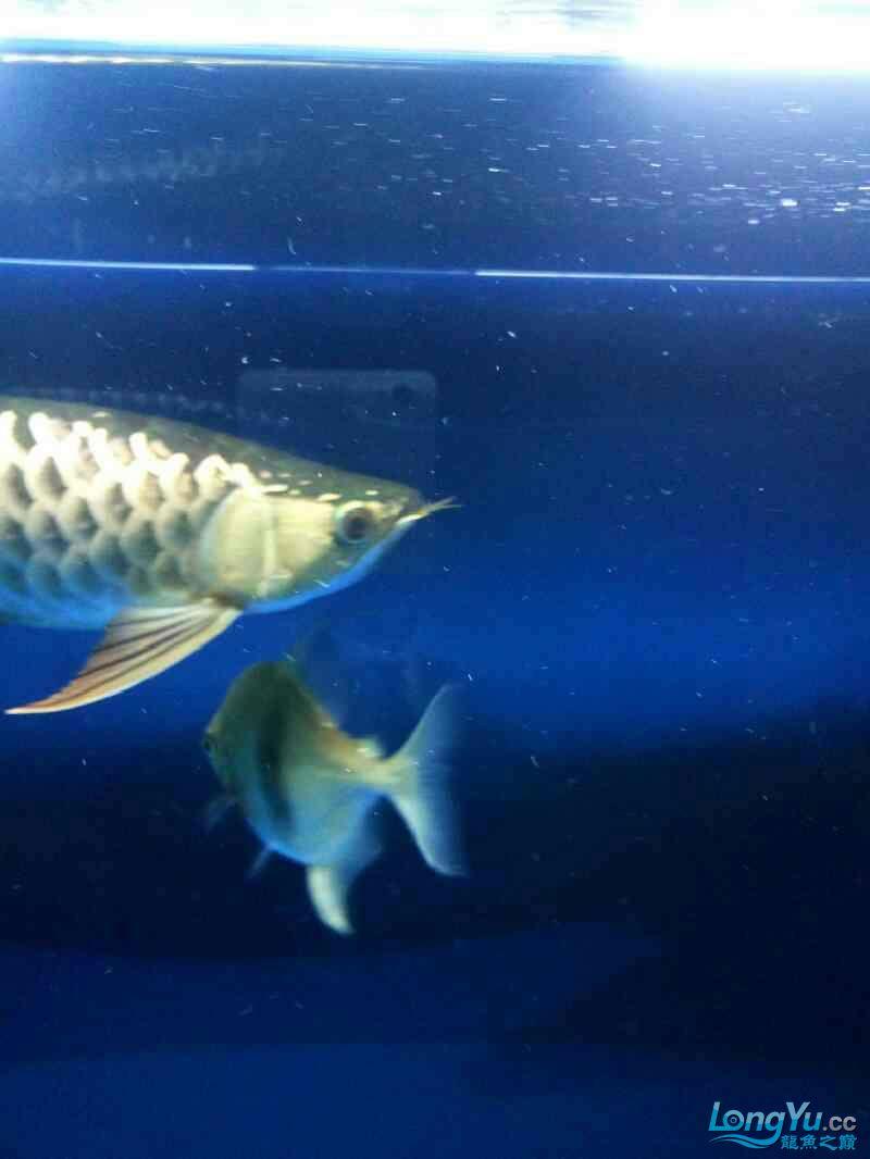 毛北京哪个水族店有白子黑帝毛 北京观赏鱼 北京龙鱼第3张