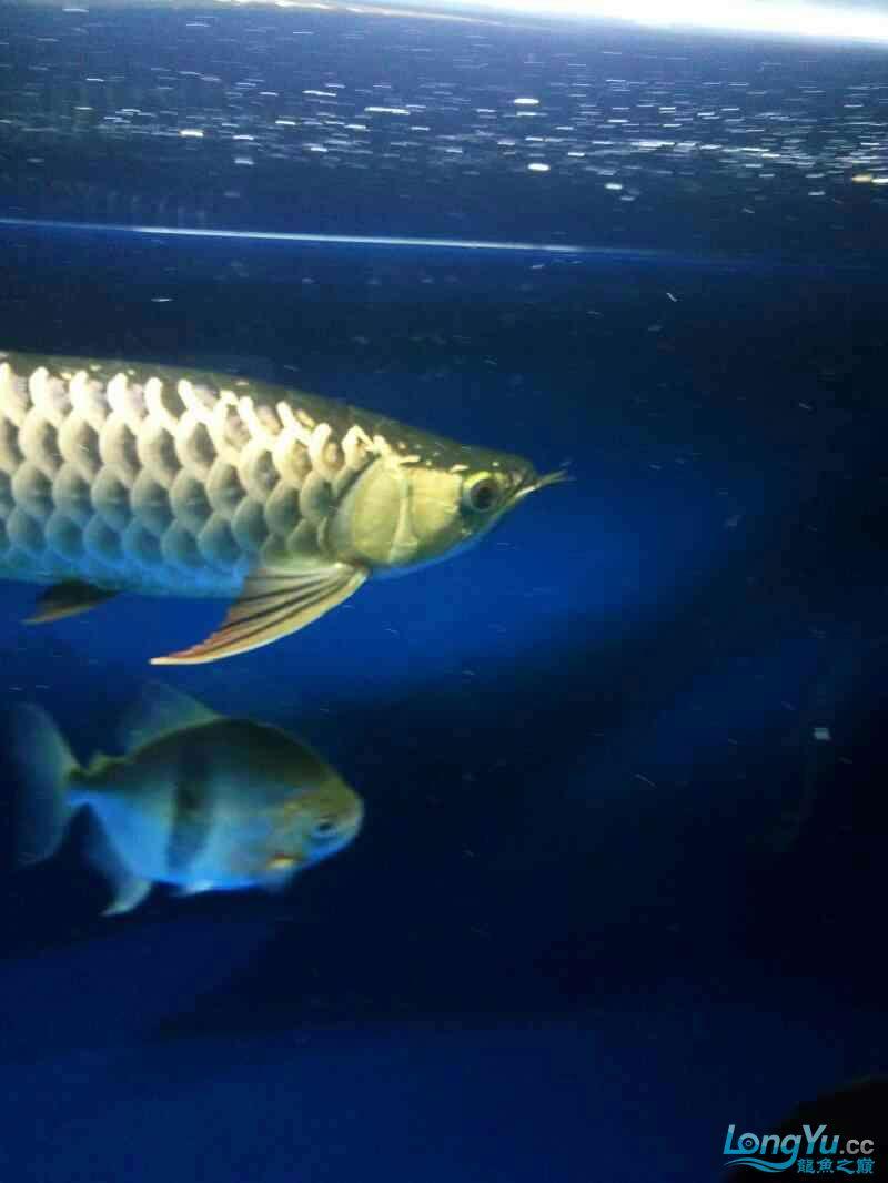毛北京哪个水族店有白子黑帝毛 北京观赏鱼 北京龙鱼第1张