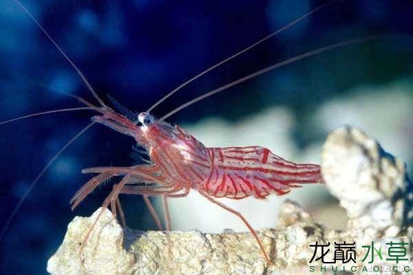 如何养观赏虾 北京龙鱼论坛 北京龙鱼第3张