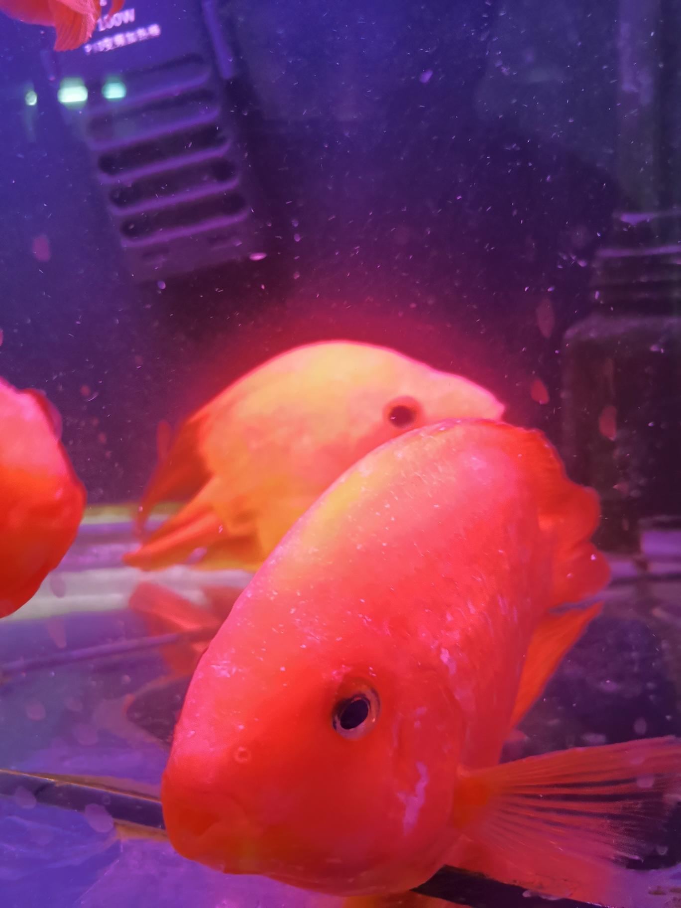 求教高手 不知道什么怪病 北京观赏鱼 北京龙鱼第3张