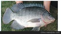 北京水族鱼批发市场阳江雨伞厂 阳江雨伞生产厂 北京观赏鱼