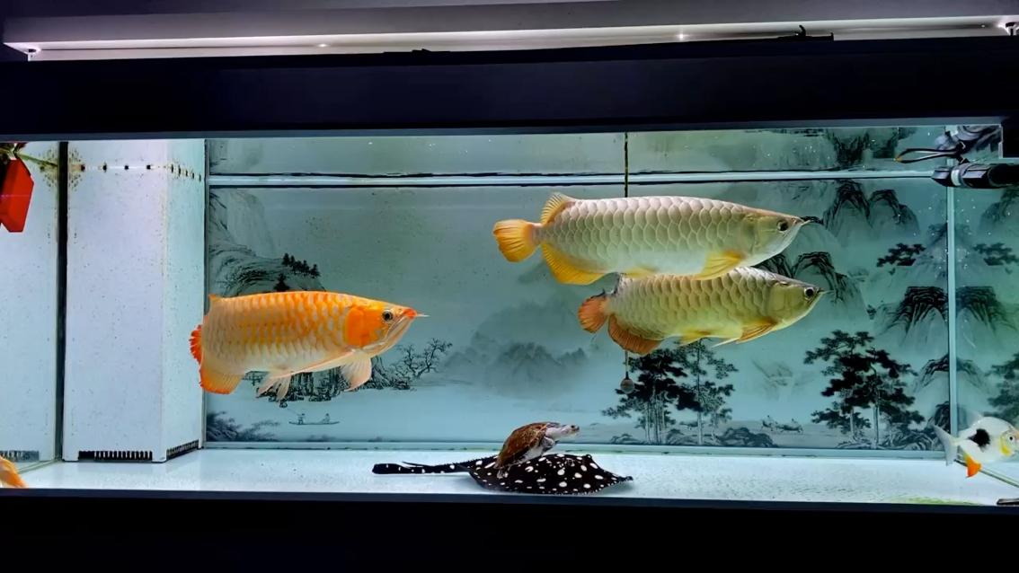 龙行天下 北京观赏鱼 北京龙鱼第1张