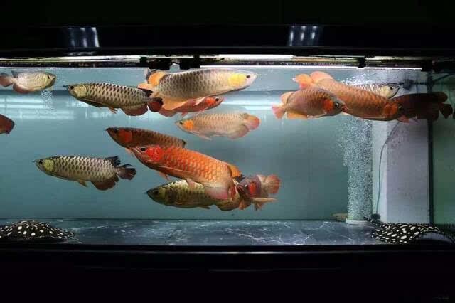 关于龙鱼的混养 北京观赏鱼 北京龙鱼第1张