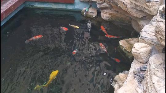 经常添加益生菌很重要 北京观赏鱼 北京龙鱼第1张