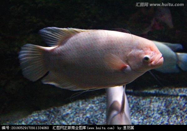 银龙鱼能跟什么鱼一起养呢?
