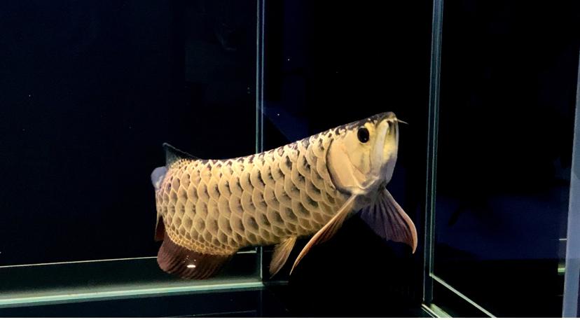 北京古典过背金龙鱼  北京龙鱼 北京龙鱼第2张