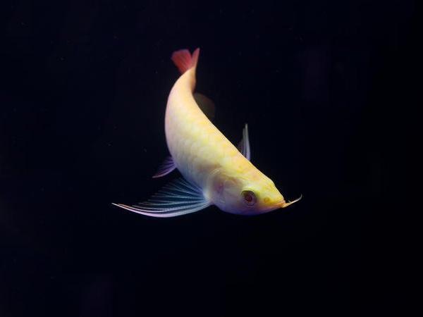北京龙鱼批发市场龙鱼详细分类  北京龙鱼 北京龙鱼第2张