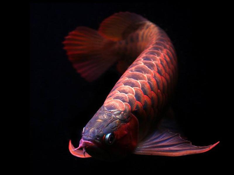 北京龙鱼批发市场龙鱼详细分类  北京龙鱼 北京龙鱼第3张