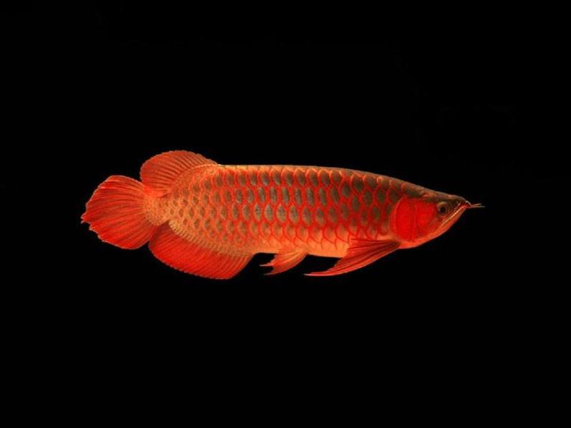 北京龙鱼批发市场龙鱼详细分类  北京龙鱼 北京龙鱼第5张