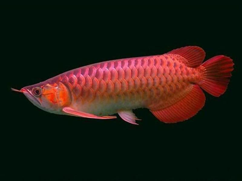 北京龙鱼批发市场龙鱼详细分类  北京龙鱼 北京龙鱼第6张