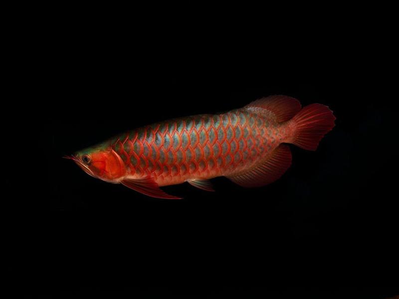 北京龙鱼批发市场龙鱼详细分类  北京龙鱼 北京龙鱼第9张