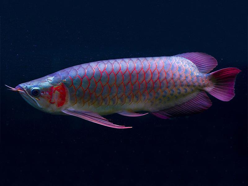 北京龙鱼批发市场龙鱼详细分类  北京龙鱼 北京龙鱼第10张