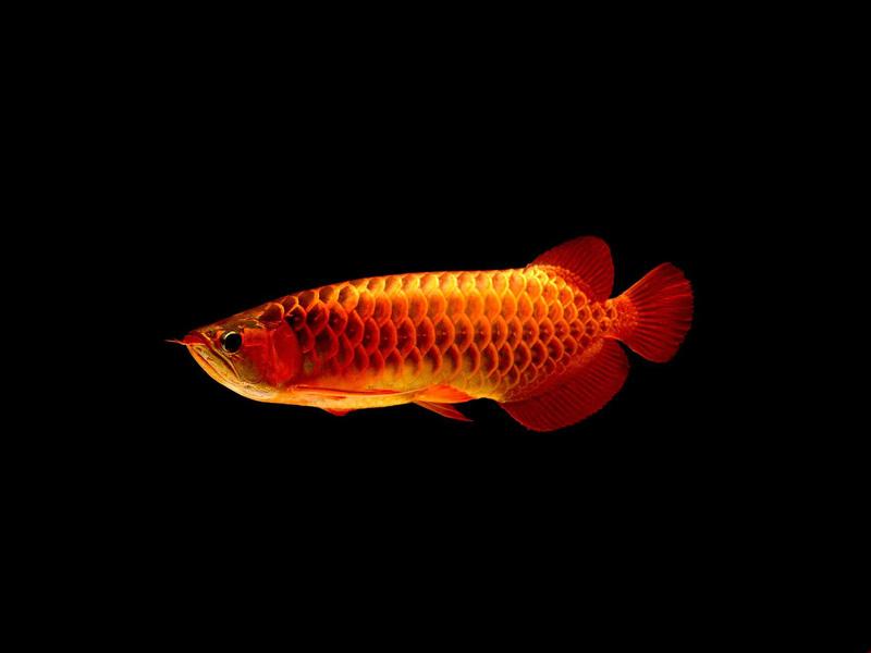 北京龙鱼批发市场龙鱼详细分类  北京龙鱼 北京龙鱼第8张