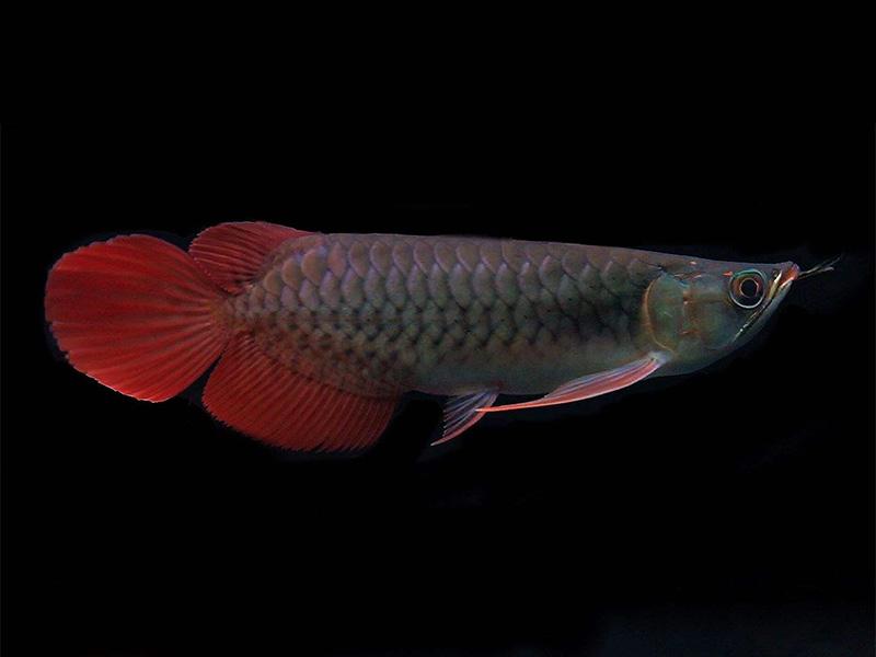 北京龙鱼批发市场龙鱼详细分类  北京龙鱼 北京龙鱼第11张