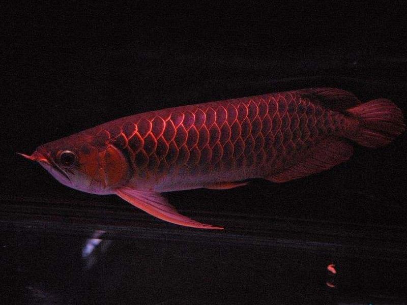 北京龙鱼批发市场龙鱼详细分类  北京龙鱼 北京龙鱼第12张