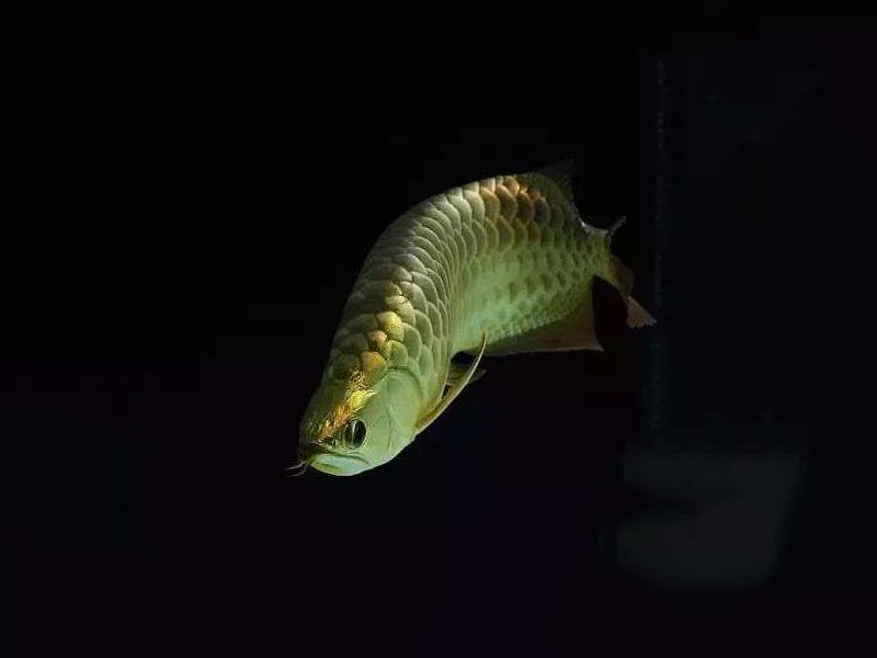 北京龙鱼批发市场龙鱼详细分类  北京龙鱼 北京龙鱼第14张