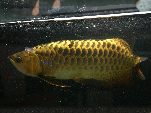 北京龙鱼批发市场龙鱼详细分类  北京龙鱼 北京龙鱼第17张
