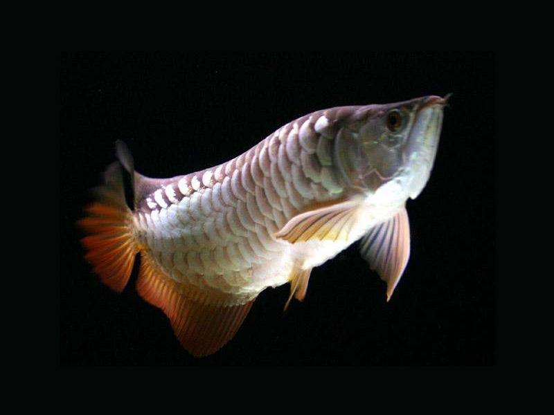北京龙鱼批发市场龙鱼详细分类  北京龙鱼 北京龙鱼第15张