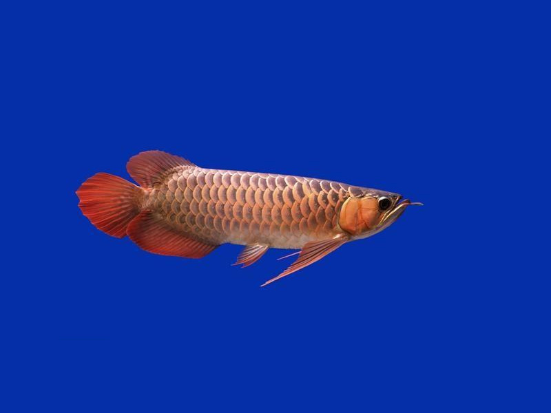 北京龙鱼批发市场龙鱼详细分类  北京龙鱼 北京龙鱼第16张