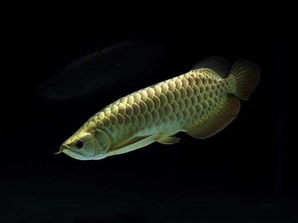 北京龙鱼批发市场龙鱼详细分类  北京龙鱼 北京龙鱼第18张