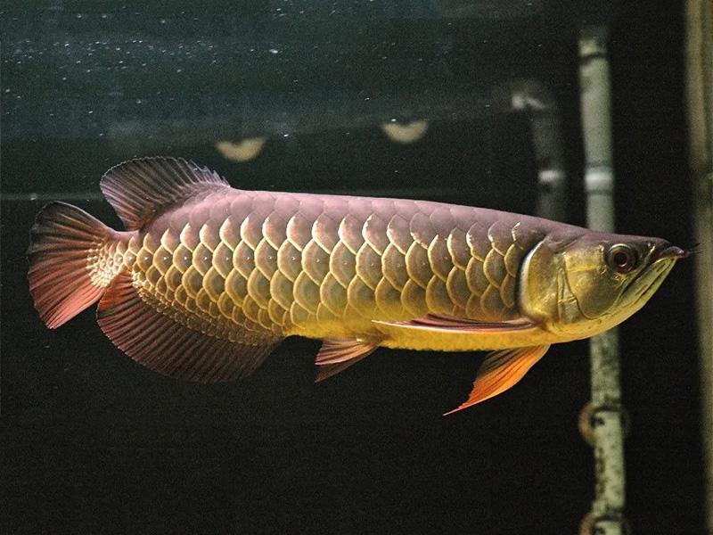 北京龙鱼批发市场龙鱼详细分类  北京龙鱼 北京龙鱼第20张
