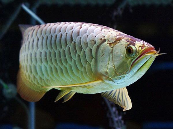 北京龙鱼批发市场龙鱼详细分类  北京龙鱼 北京龙鱼第19张