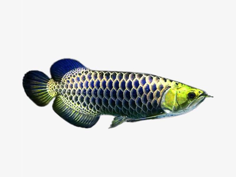 北京龙鱼批发市场龙鱼详细分类  北京龙鱼 北京龙鱼第21张