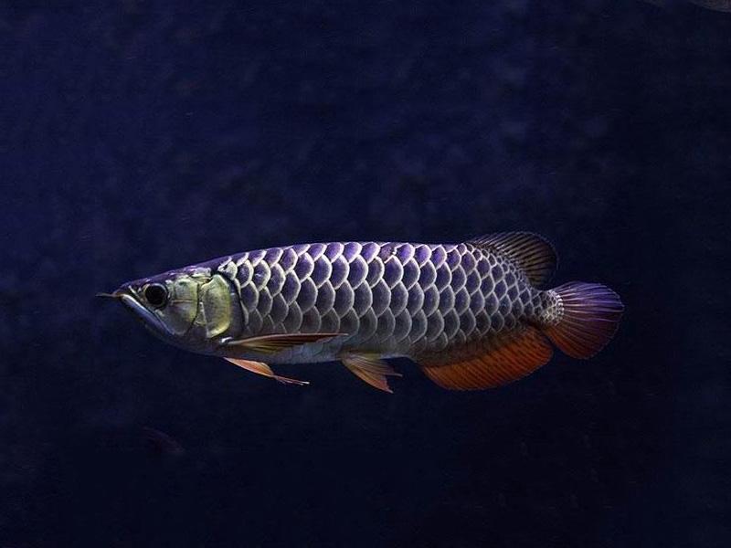 北京龙鱼批发市场龙鱼详细分类  北京龙鱼 北京龙鱼第22张
