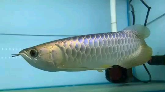 北京龙鱼批发市场龙鱼详细分类  北京龙鱼 北京龙鱼第23张