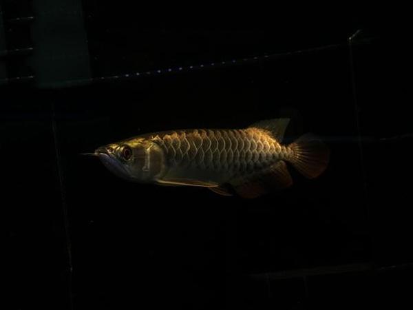 北京龙鱼批发市场龙鱼详细分类  北京龙鱼 北京龙鱼第26张