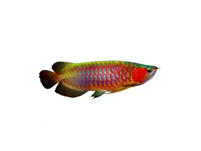北京龙鱼批发市场龙鱼详细分类  北京龙鱼 北京龙鱼第25张