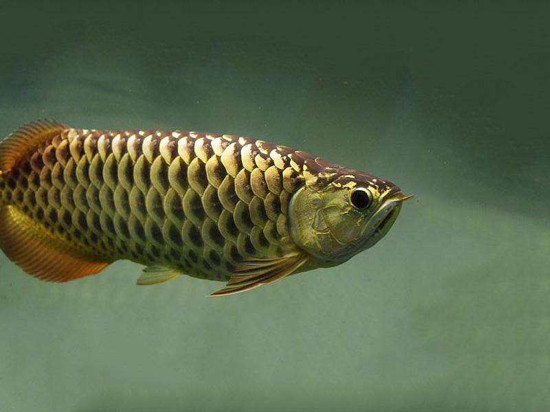 北京龙鱼批发市场龙鱼详细分类  北京龙鱼 北京龙鱼第27张
