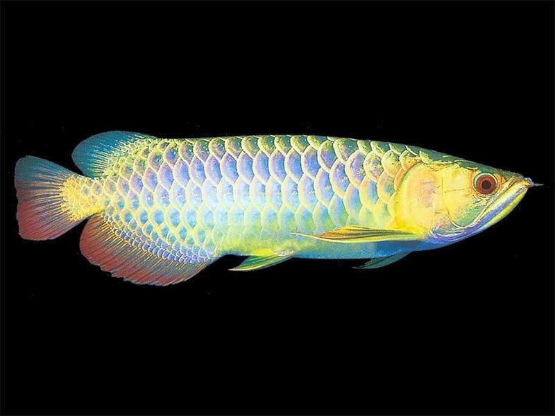 北京龙鱼批发市场龙鱼详细分类  北京龙鱼 北京龙鱼第24张