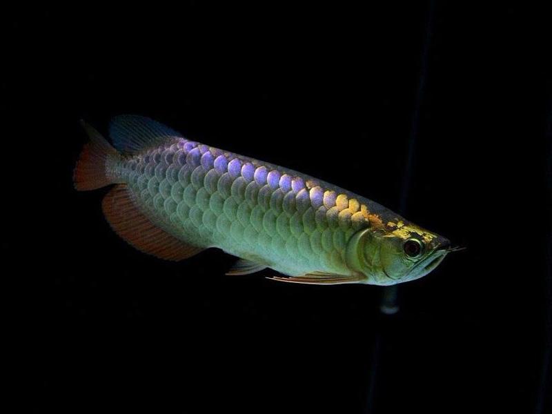 北京龙鱼批发市场龙鱼详细分类  北京龙鱼 北京龙鱼第28张