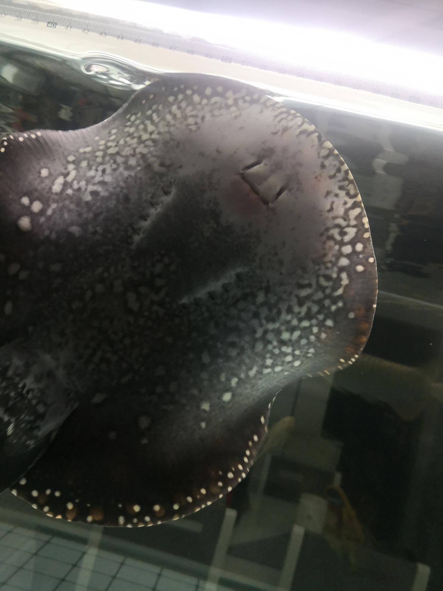 黑白魟鱼下嘴唇有点发红这样正常吗? 北京龙鱼论坛 北京龙鱼第1张