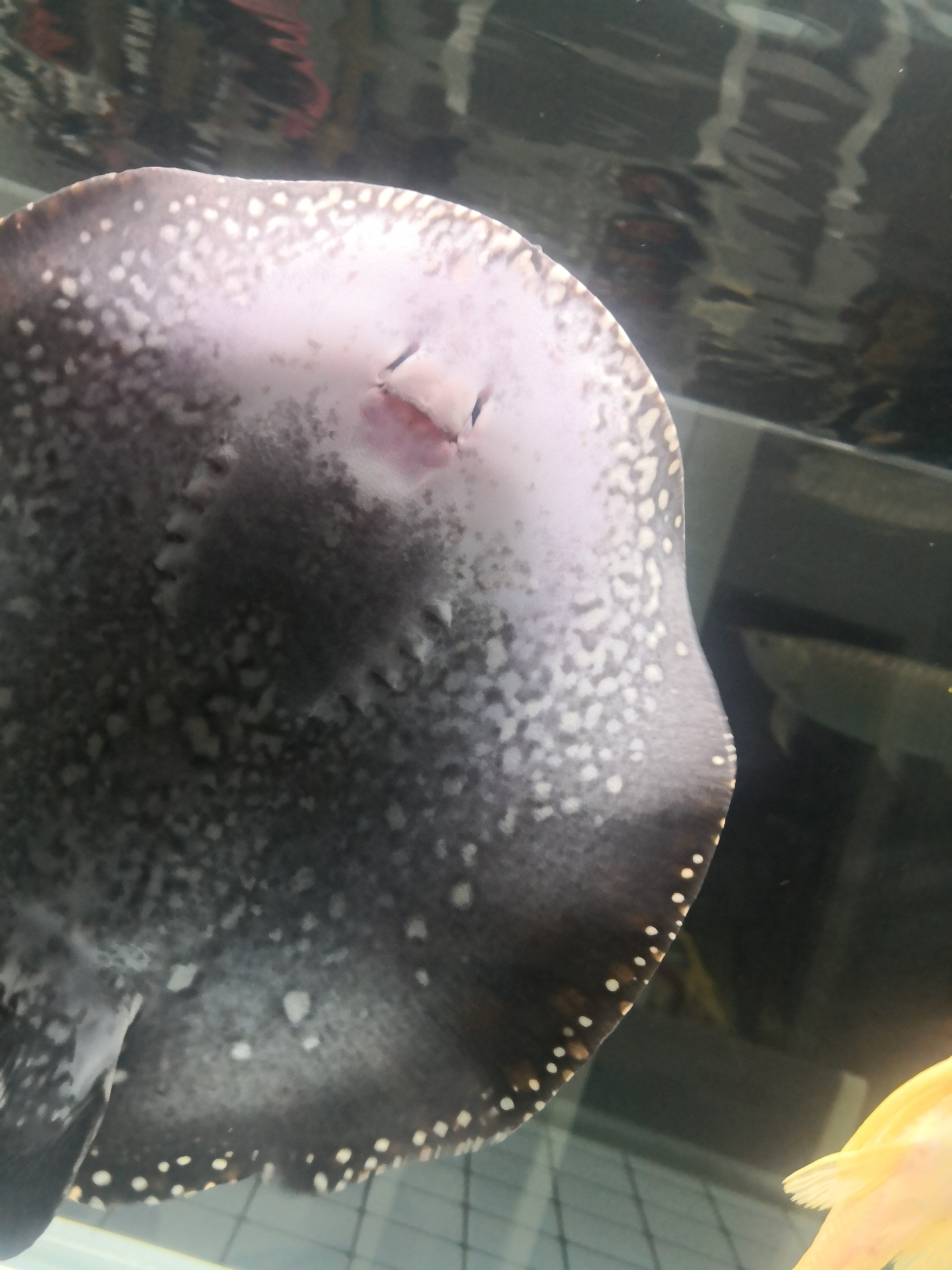 黑白魟鱼下嘴唇有点发红这样正常吗? 北京龙鱼论坛 北京龙鱼第2张