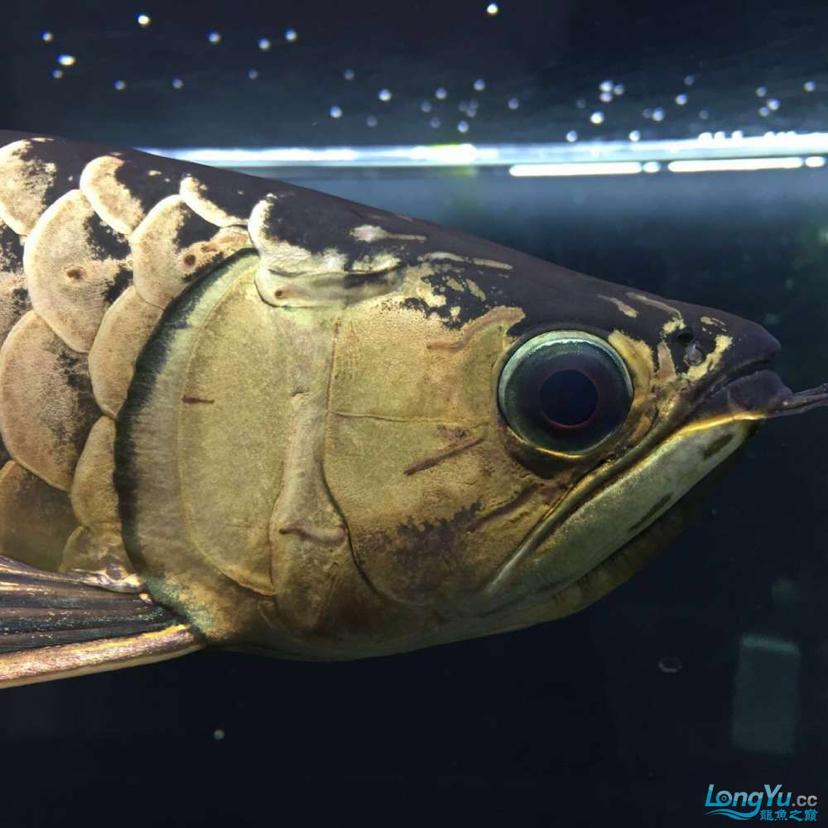 蓝紫底鲨鱼嘴火焰尾立达七彩过背 北京观赏鱼 北京龙鱼第1张