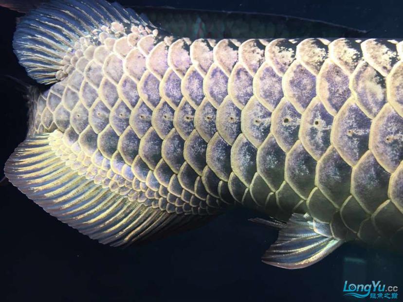 蓝紫底鲨鱼嘴火焰尾立达七彩过背 北京观赏鱼 北京龙鱼第5张
