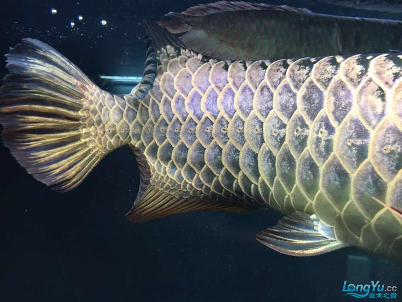 蓝紫底鲨鱼嘴火焰尾立达七彩过背 北京观赏鱼 北京龙鱼第6张