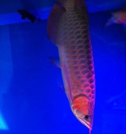 巨骨舌鱼能和什么鱼混养? 北京龙鱼论坛