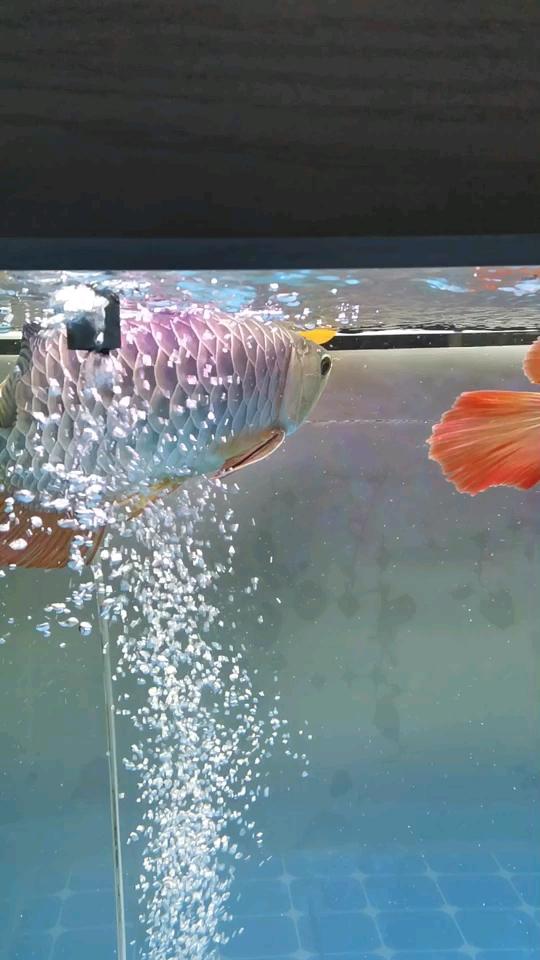 这色彩应该没得北京哪个水族店卖银龙说吧 北京龙鱼论坛 北京龙鱼第1张