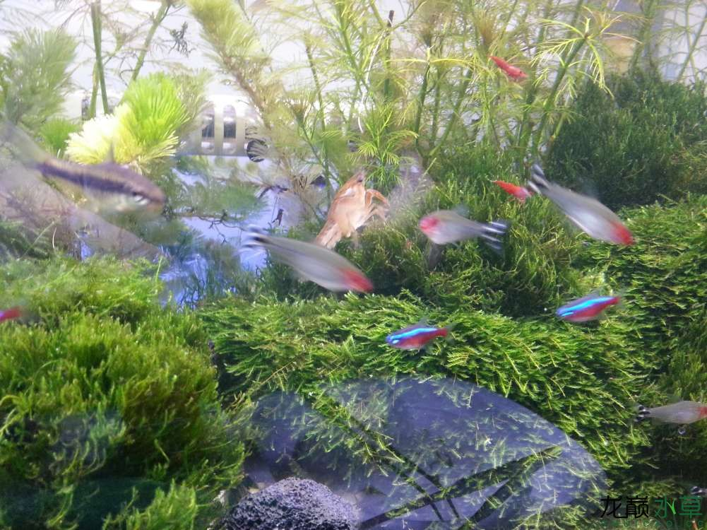 古有孤独求败今有蝲蛄求藻 北京观赏鱼 北京龙鱼第1张