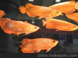北京最大的观赏鱼批发市场在哪? 北京龙鱼论坛