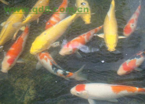 请教各位关于鱼病 北京观赏鱼 北京龙鱼第3张